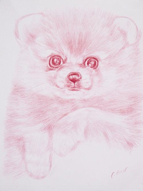 Pink Teddy Pomeranian