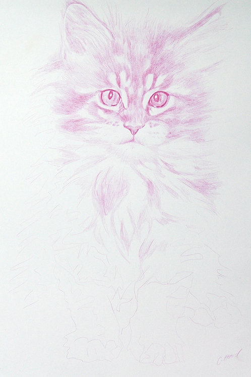 Delicate Pink Maine Coon