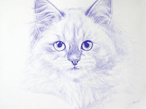 Blue Siberian