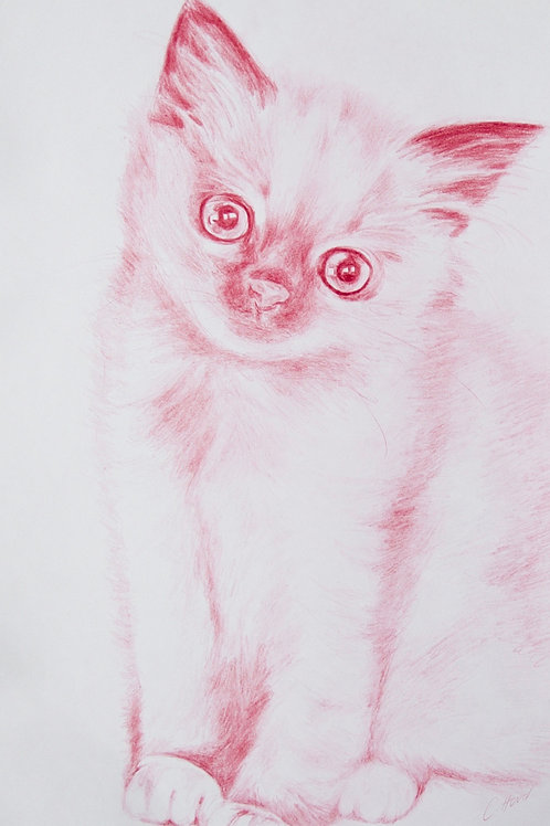 Pink Birman Kitten Sitting