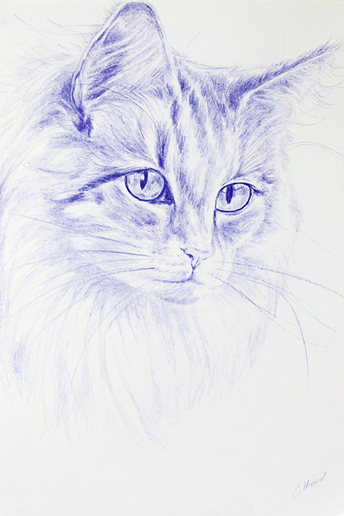 Blue Norwegian Forest Cat