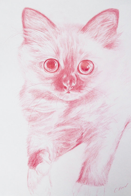 Pink Birman Kitten With Paws Outstretched