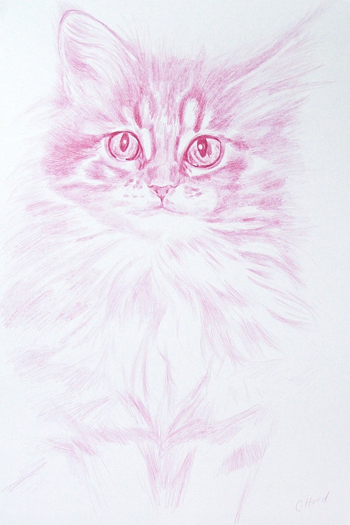 Pink Maine Coon