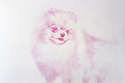 Pink Fluffy Pomeranian
