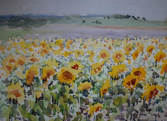 Sunflower Field (large)