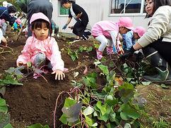 豊府幼稚園芋掘り.JPG