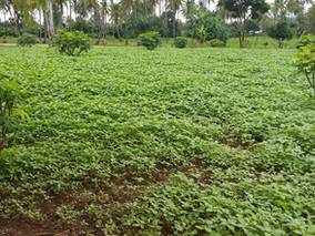 The Impact of COVID-19 on Vegetable Supply and Consumption in Dar es Salaam and Morogoro