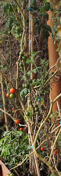 tomates0.jpg