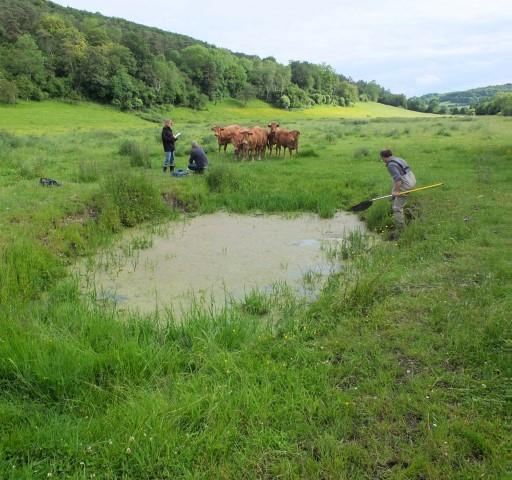 Les pas de vaches aux abords des mares plaisent particulièrement aux sonneurs : l'eau s'y réchauffe rapidement