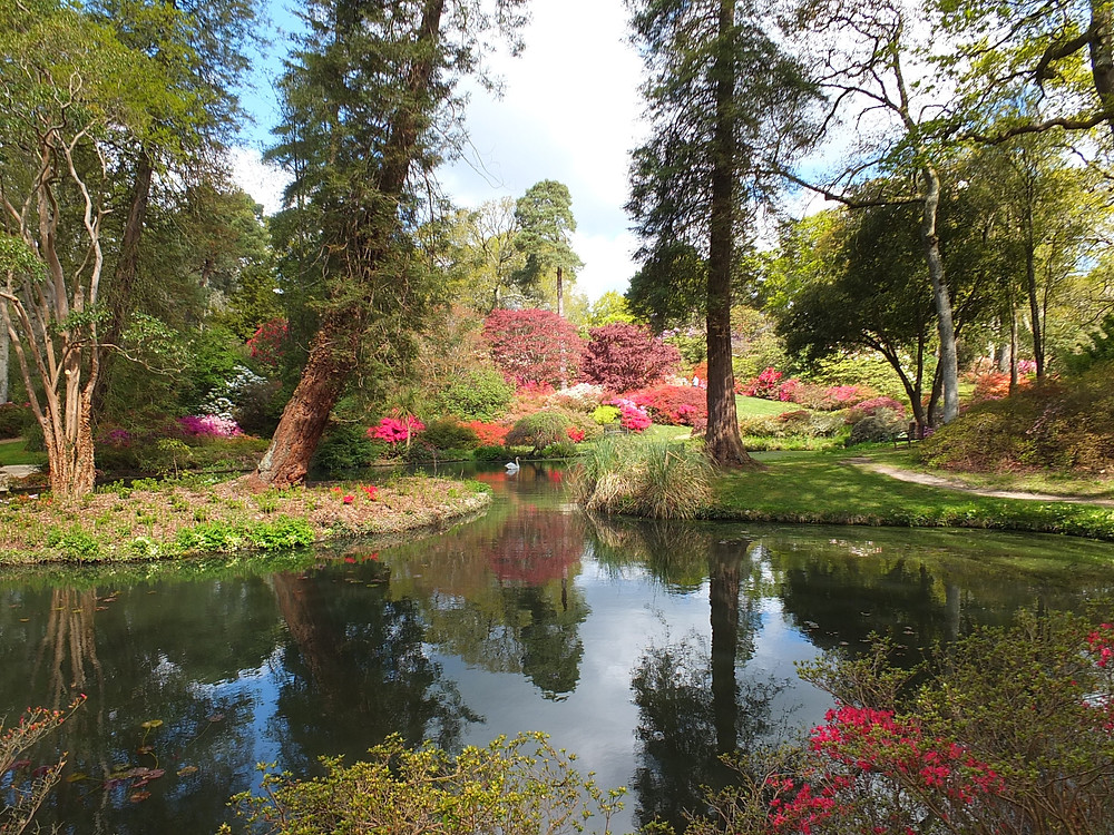 Exbury pond with azaleas, rhododendrons and swan