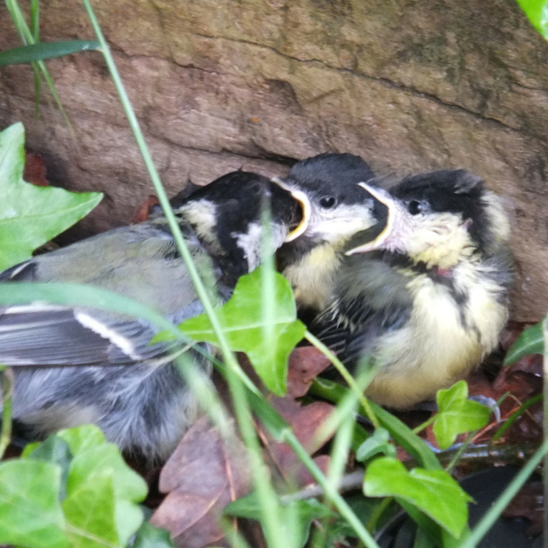 two great tit fledgling chicks being fed by their mother