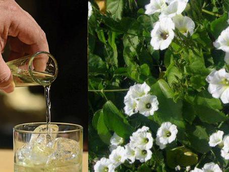 Xtabentún, la leyenda del licor maya ancestral