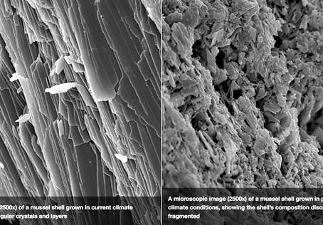 Condiciones futuras del océano podrían causar cambios significativos en conchas del mejillón