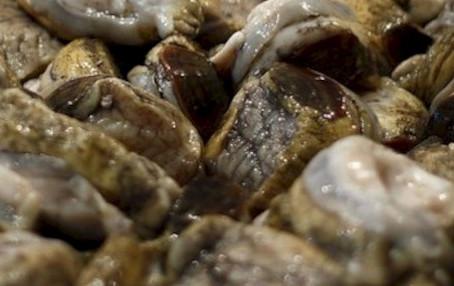Áreas de manejo: en septiembre se iniciará veda biológica del loco, entre el Mauel y Aysén