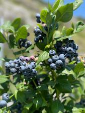 Frisch, lokal, nachhaltig: Heidelbeeri.ch ab sofort im Canto Verde