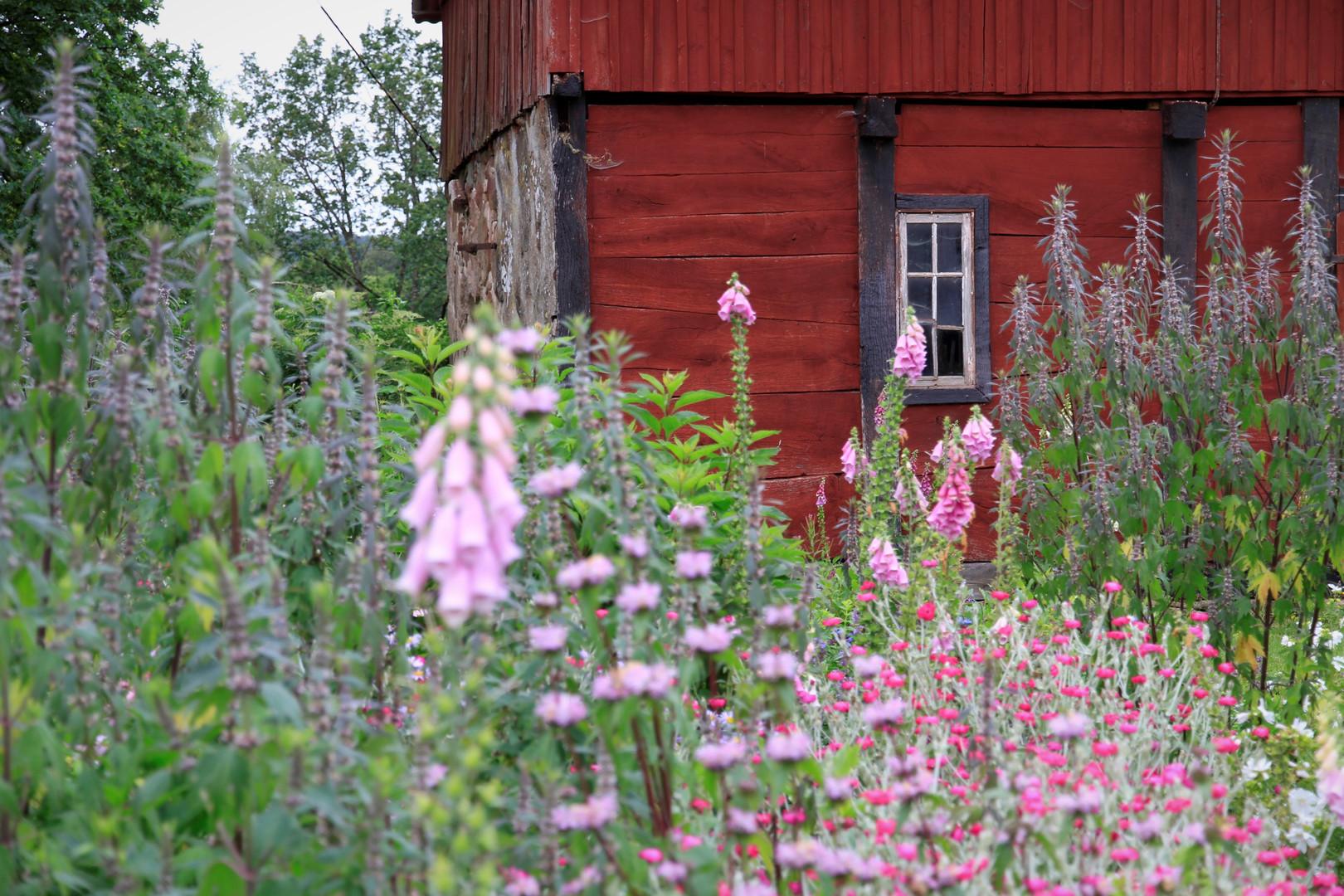 På gårdsplanen finns fjärilsrabatten eller insektsrabatten. Här har vi planterat perenner som ger nektar och pollen till våra värdefulla pollinerare. Vilda insekter har det tufft i vårt konventionellt brukade jord- och skogsbrukslandskap. Vi vill erbjuda dem en oas där det finns massor av mat och skydd. Det surrar och virvlar hela säsongen av olika humlor, bin, fjärilar och andra småkryp. Det lockar i sin tur fåglar och andra djur. Härligt och så viktigt. Om du vill plantera mer växter som gynnar insekter så tipsar jag dig gärna om olika såna.