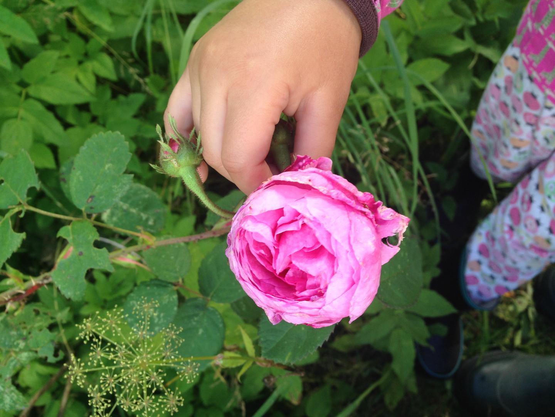 En gammal ros som växte i trädgården och som jag inte vet vad den heter. Men den är så vacker och doftar underbart. Det är gott nog. Under 2020 ska jag köpa fler rosenbuskar att ha till snittblommor. Det blir ett gäng Austinrosor och jag älskar dom redan, fast jag inte beställt dem än. Men allra kärast för mig är de gamla rosorna som finns på gården och som förmodligen funnits här i många år, kanske över hundra.