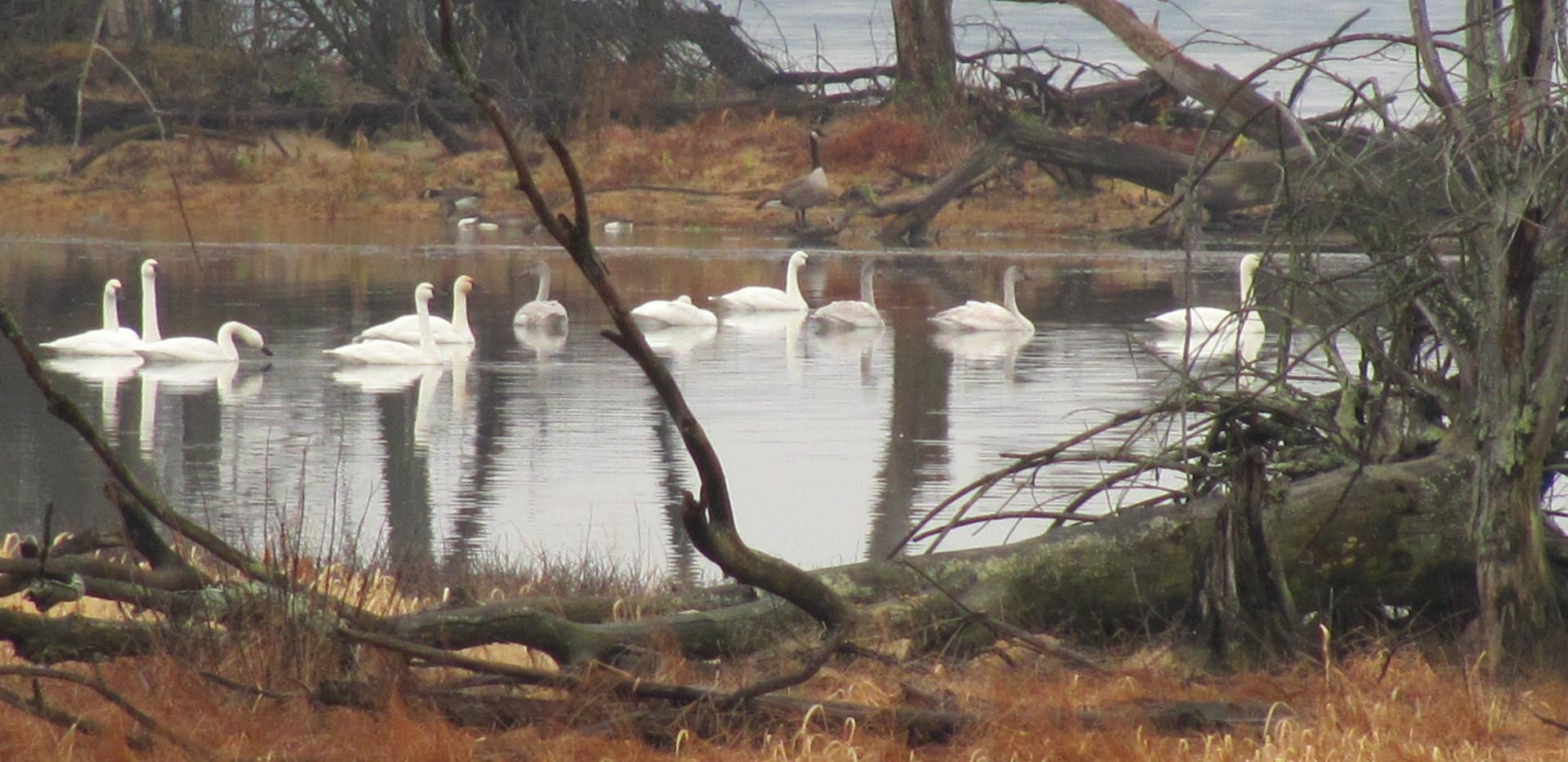 Swans - Jim Tate.jpg