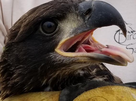 Eagle, photo by Dr. M. Neopolitan