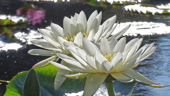 Lotus bloom photo by Susan Brockmeier