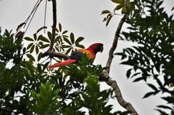 Scarlet Macaws Bird