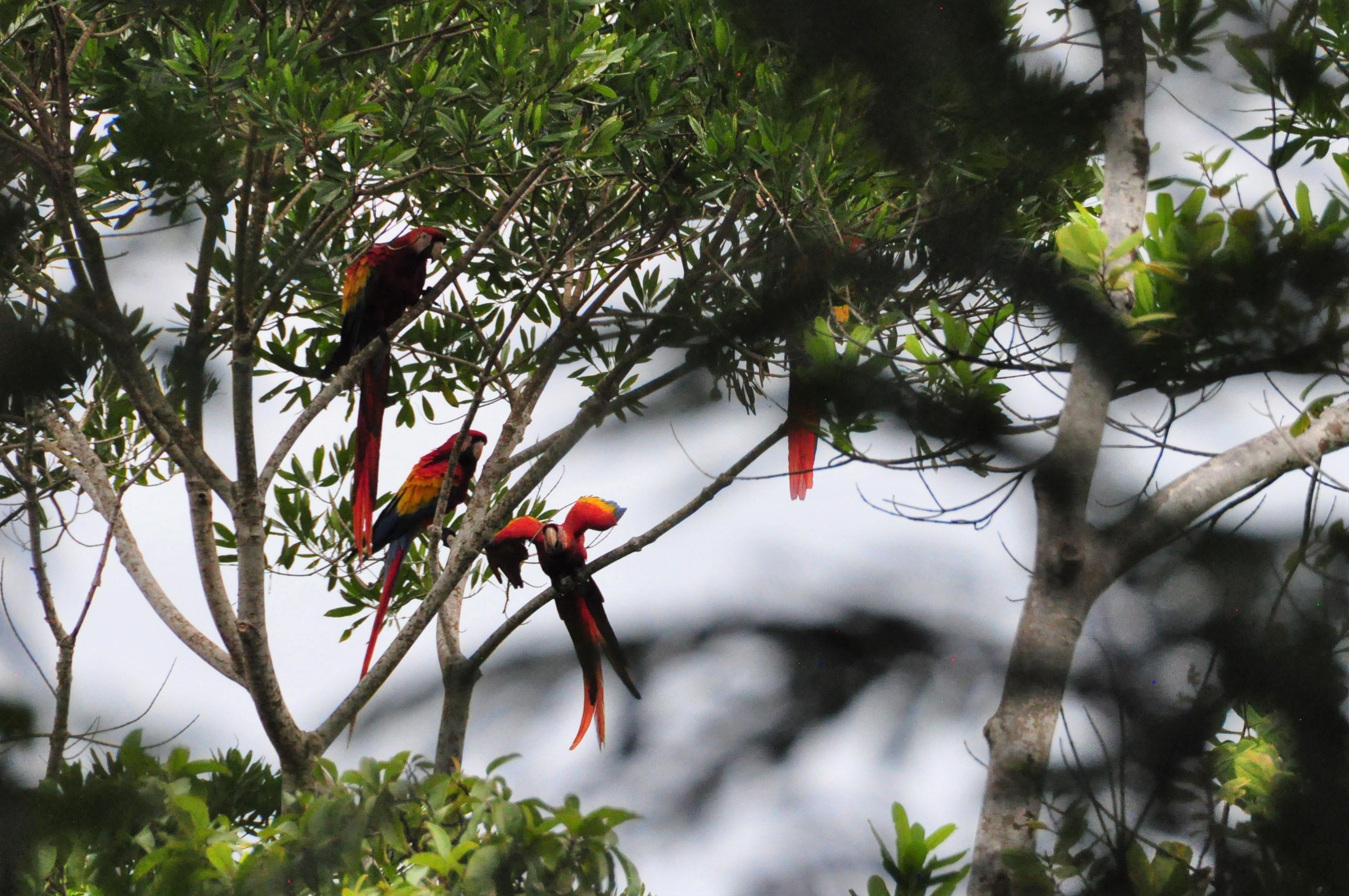 Sarlet Macaws