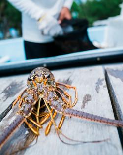 Lobster Hunt
