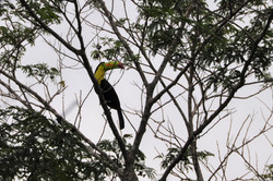 National Bird of Belize