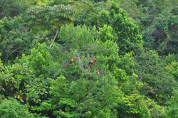 Red Bank Macaws