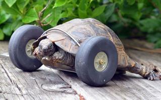 Tortuga de casi un siglo pierde sus patas  delanteras y las reemplazan por rueditas