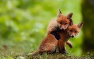 Zorros como animales de compañía para salvarlos de la crueldad de la industria peletera