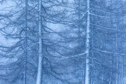 Larici in inverno