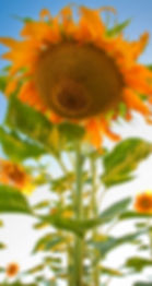 Huntington sunflower 72 rgb.jpg