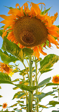 Huntington sunflower 72 rgb.jpg
