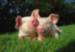 800-pigs-in-grass1.jpg