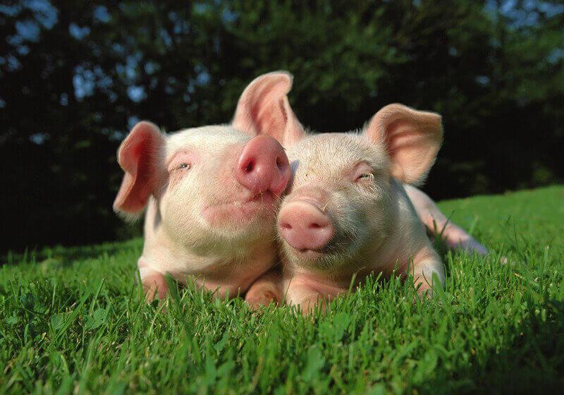 cute-pigs-in-grass.jpg