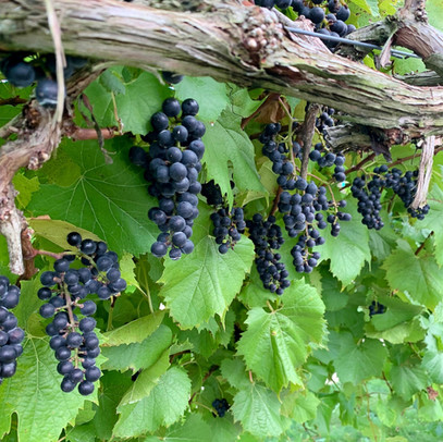 This new red grape variety produces whole cluster wines with deep color, high natural acidity and complex aromatics of dark fruits, baking spices and forest floor!