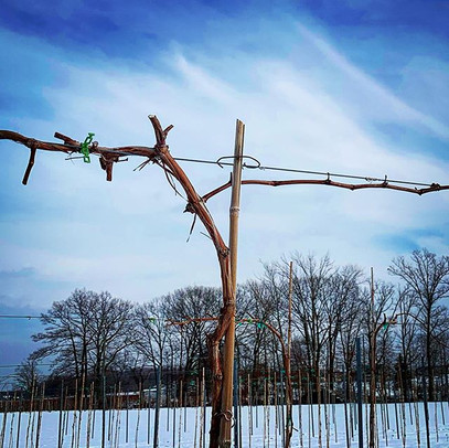 We test each new grapevine variety for resistance to cold and disease and evaluate how they respond to different pruning techniques.