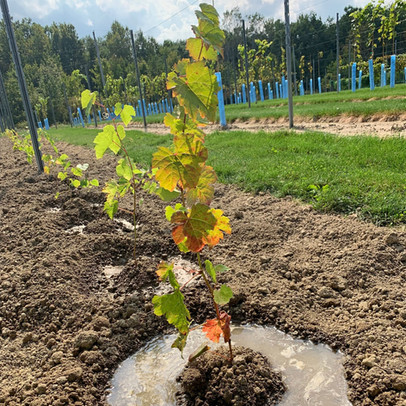 Less that one seedling in five is selected for planting into our research vineyard for further evaluation.