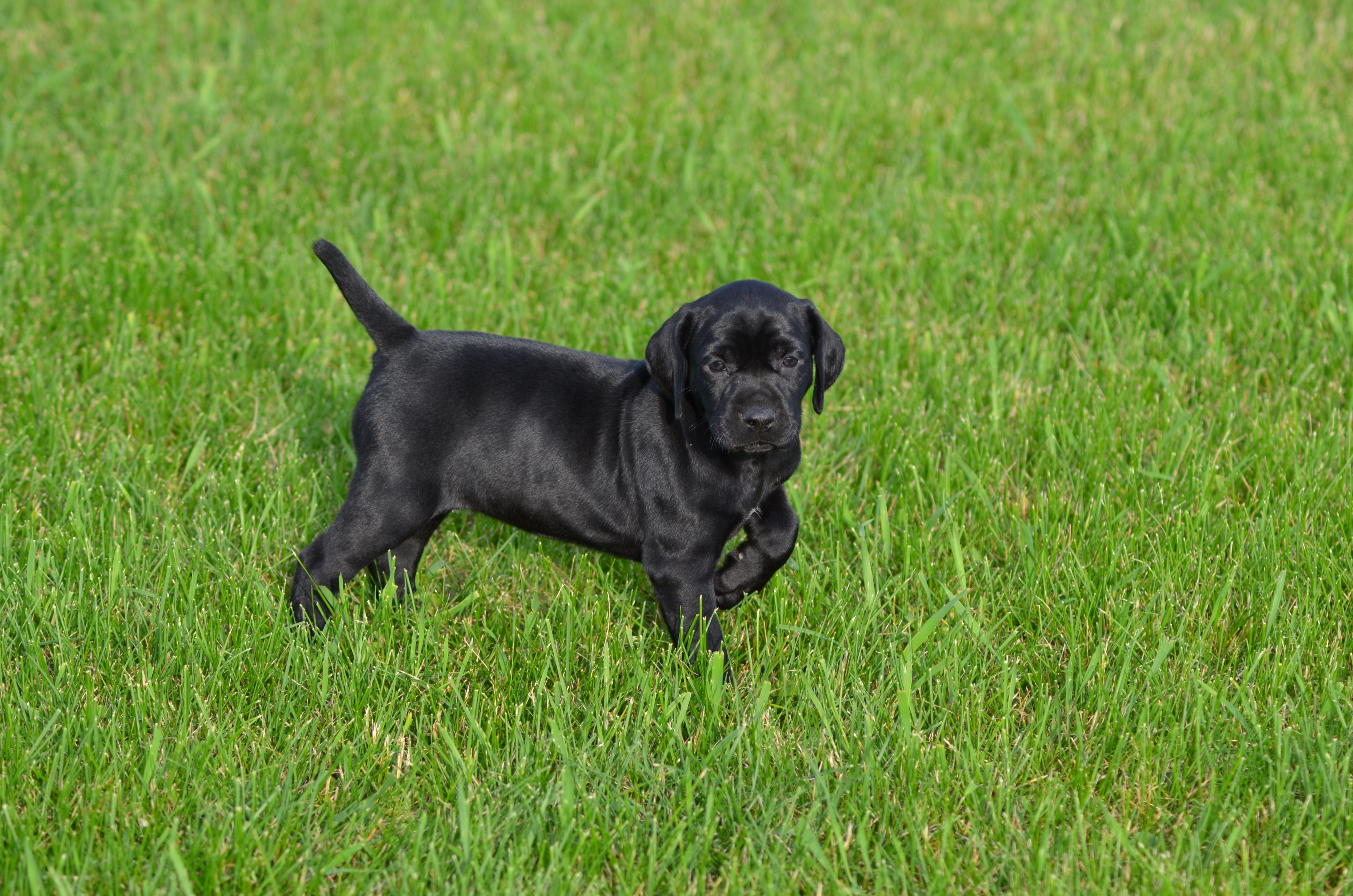 Solid black puppy german shorthair