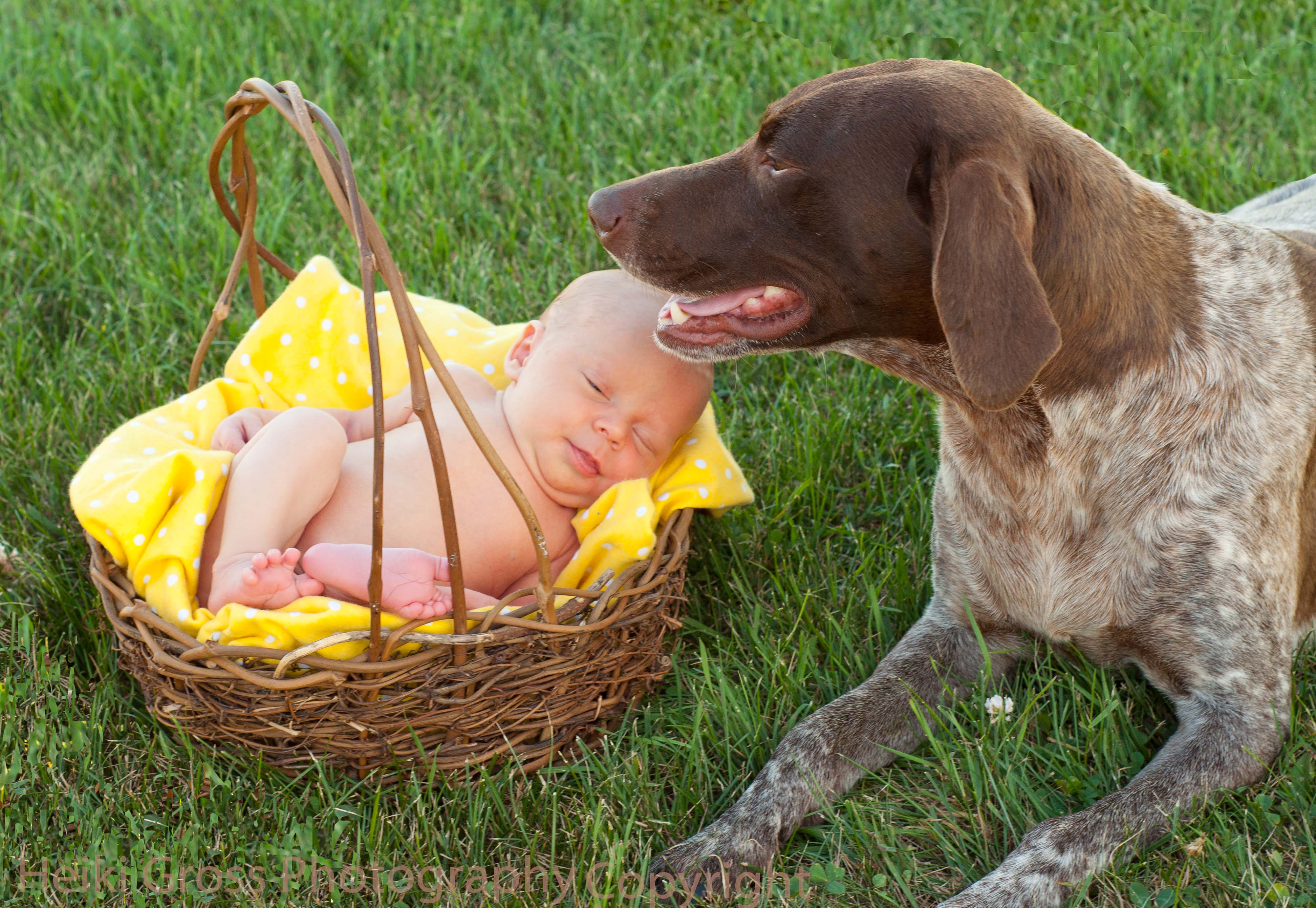 Baby German shorthaired pointer MN