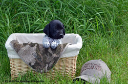 Black roan gsp puppy