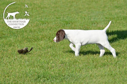 Liver and white german shorthair pup
