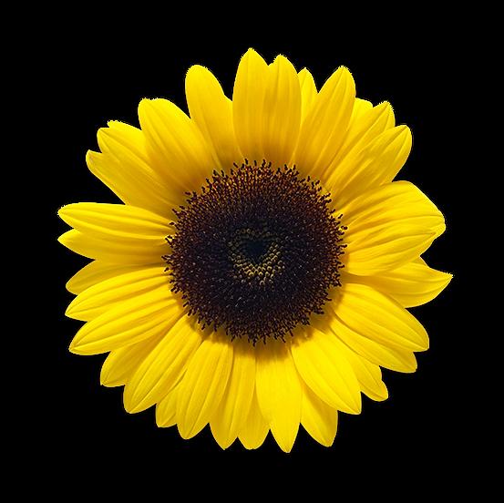 bunga-matahareee.png