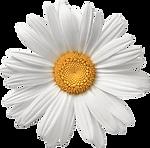 kissclipart-transparent-daisy-icon-clipa