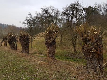 Hlavaté 150 let staré vrby ořezány