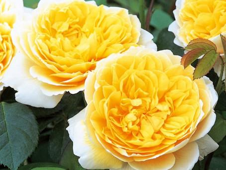 Objednáno více jak 50 odrůd růží