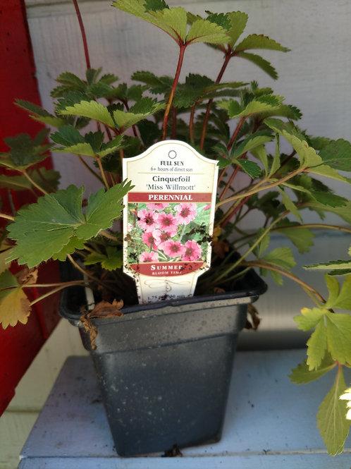 Cinquefoil Miss Willmott Perennial Full sun