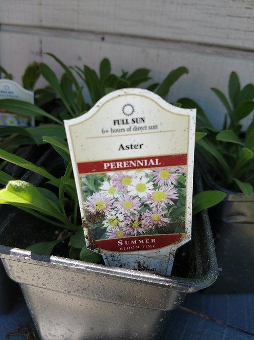 Aster Perennial Full Sun
