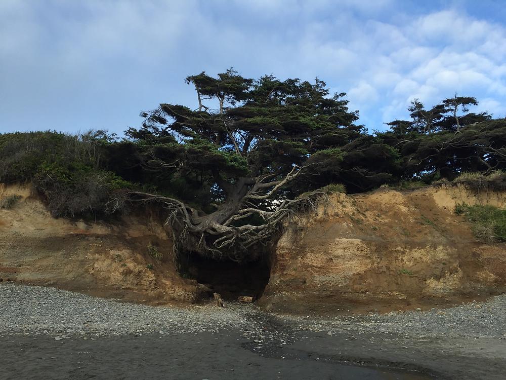 Kalaloch Beach Campgrounds Tree of Life Washington